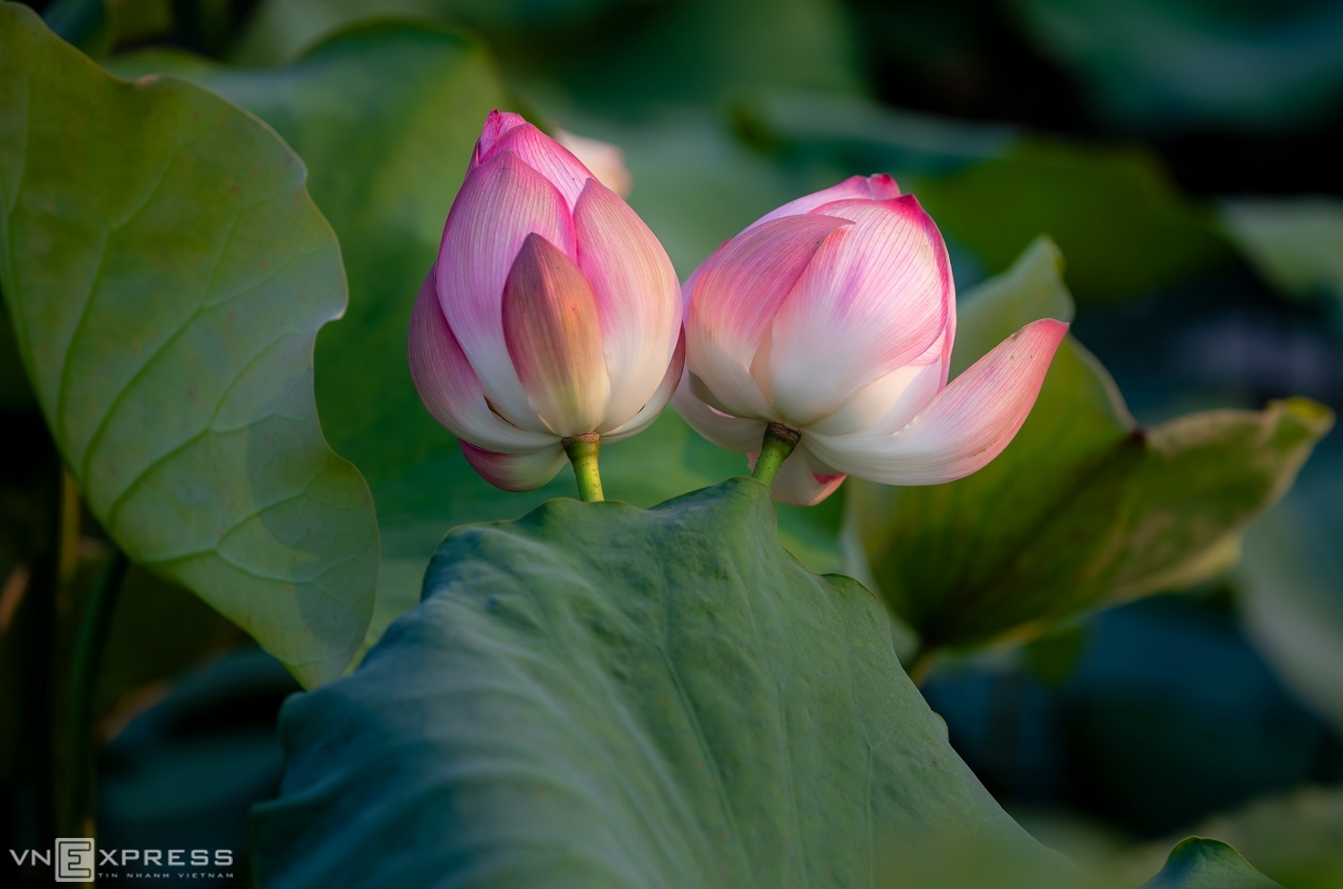 Lotus is the symbol is the symbol of purity and integrity