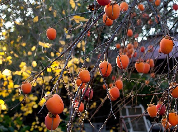 Mùa Hồng Đà Lạt – Ngọt Ngào Và Bình Yên