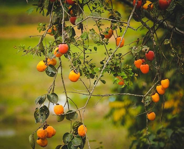 Persimmon season in Da Lat will surely provide lasting memories
