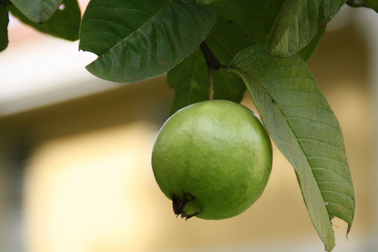 Hidden inside guava fruits and its leaves are a number of health benefits