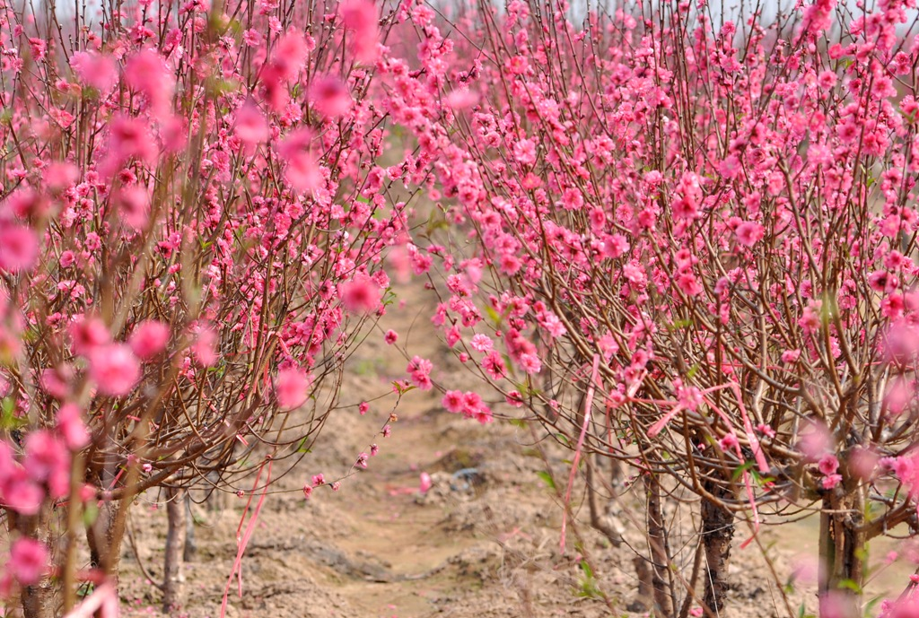 Peach blossom is a symbol of Tet in the North